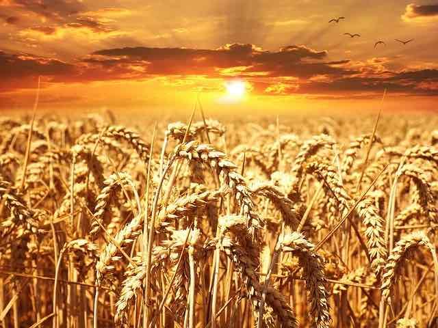 céréales de polyculture